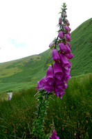 Parked by White Horse Pub in Scales - walked road 15 min to gate and trail. Flower is Fox Glove