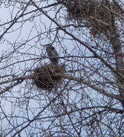 Blue Heron on Nest.Nests are visible from the Vahalla Pure store in Vernon. Lots of local birders around.